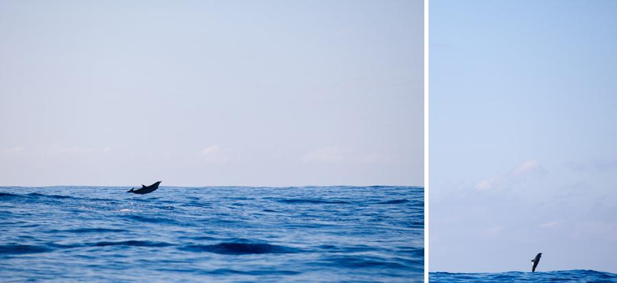 Hawaiian dolphins jumping in the air