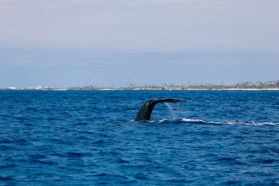 humpback whale diving with flukes in air