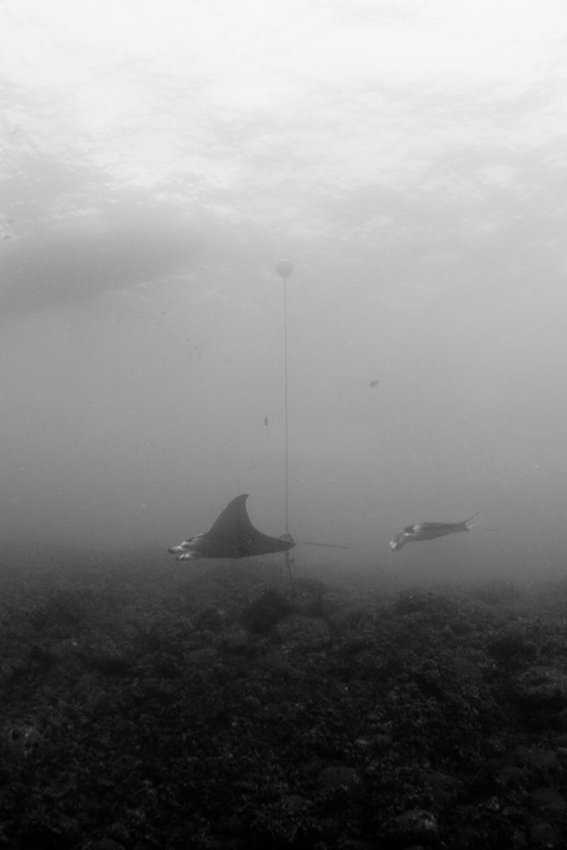 Hawaiian manta rays near boat anchor