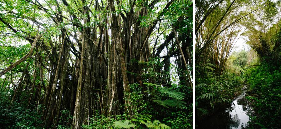 Akaka falls trees in Hawaii