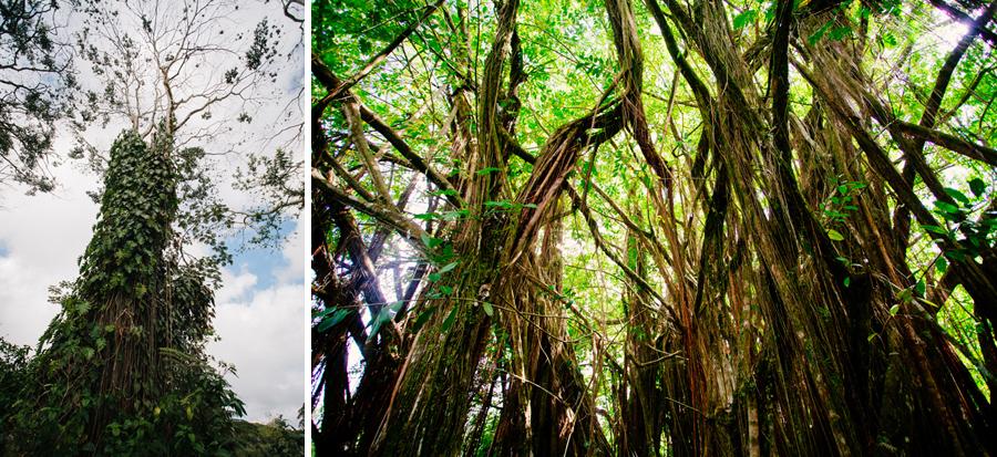 Hawaiian trees in Akaka Falls park