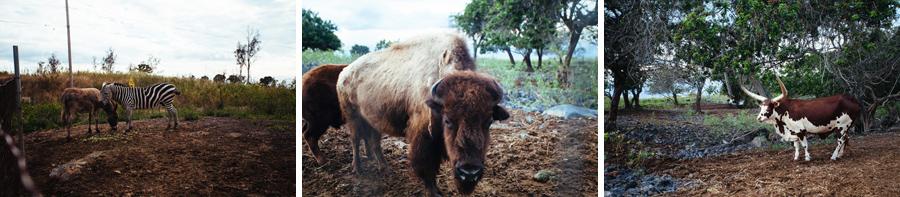 Hawaiian buffalo and zebra and longhorn