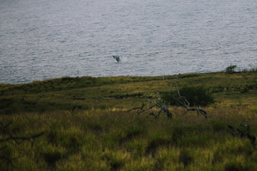 humpback whale breaching in the distance