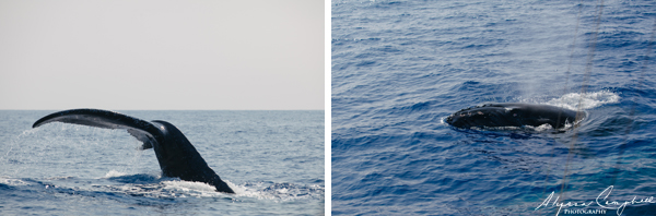 Humpback Whale calf close looking at you tail fluke