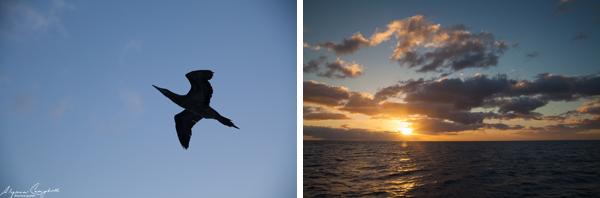 boobie bird ocean bird sunset Oahu Hawaii