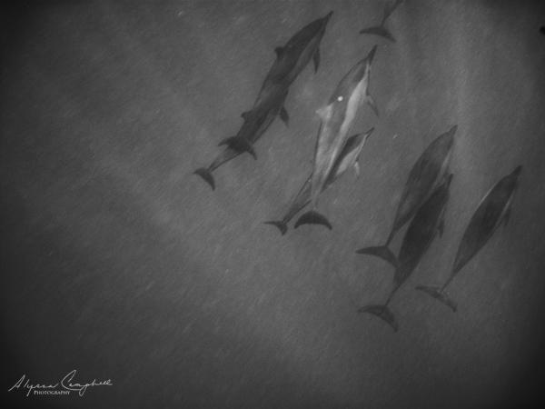 underwater dolphins pod Oahu Hawaii