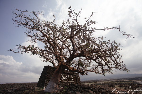 Wiliwili Tree rare Hawaiian tree endemic Hawaiian tree