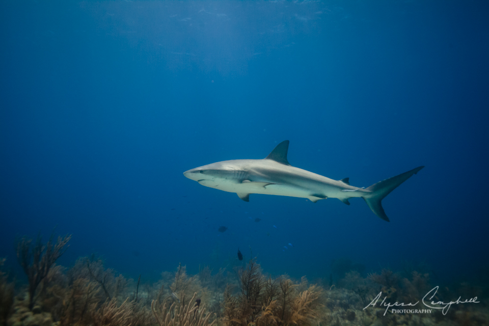 Stuarts Cove Bahamas reef shark
