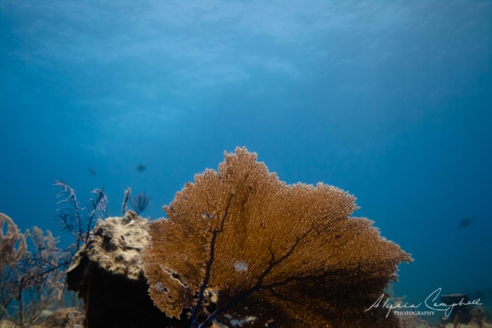 Stuart's Cove Bahamas fan coral