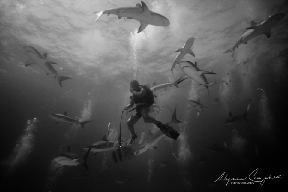 Stuart's Cove Shark Dive Bahamas Caribbean reef shark diver descending with sharks swimming around