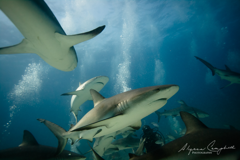 Stuart's Cove Shark Dive Bahamas Caribbean reef shark