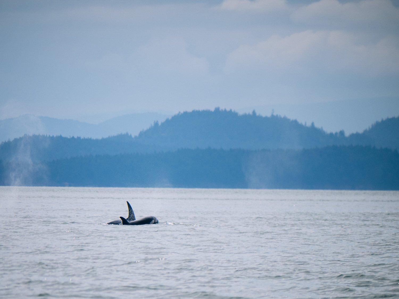 transient orcas in San Juan Islands