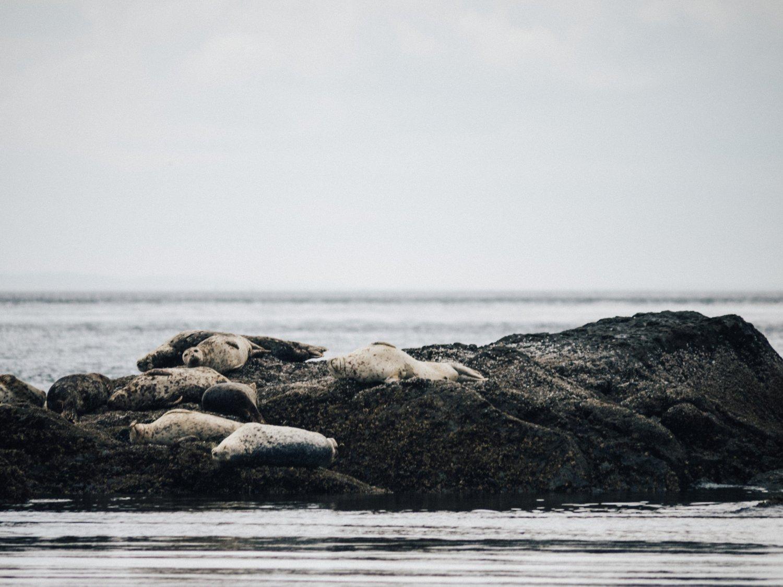 seals on rocks in San Juan Islands, WA
