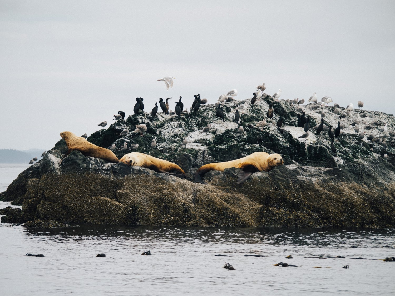 Stellar sea lions on rocks San Juan Islands