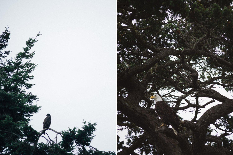 bald eagles San Juan Islands