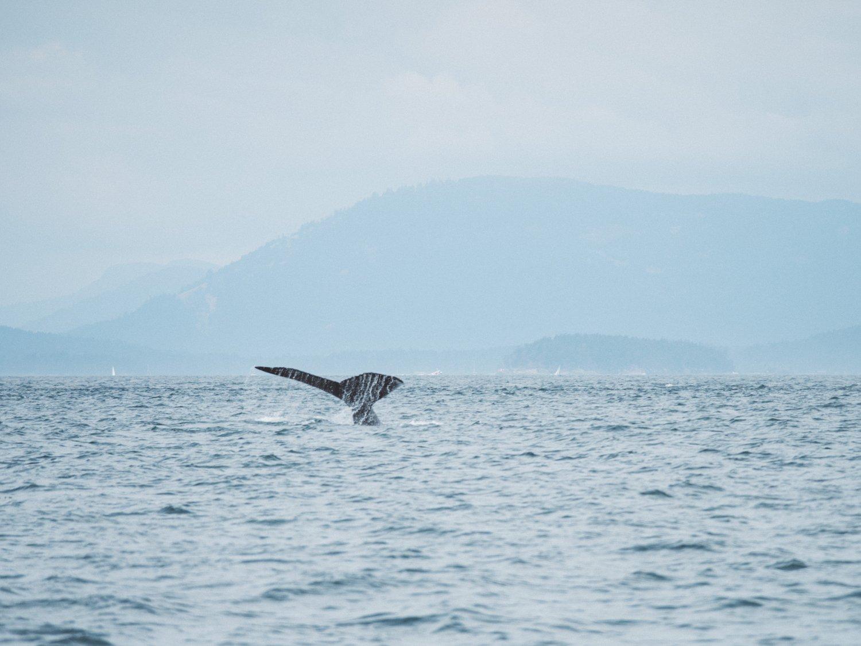 humpback in Strait of Georgia San Juan Islands