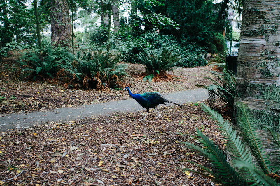 peacock at Goodacre Lake Victoria Canada