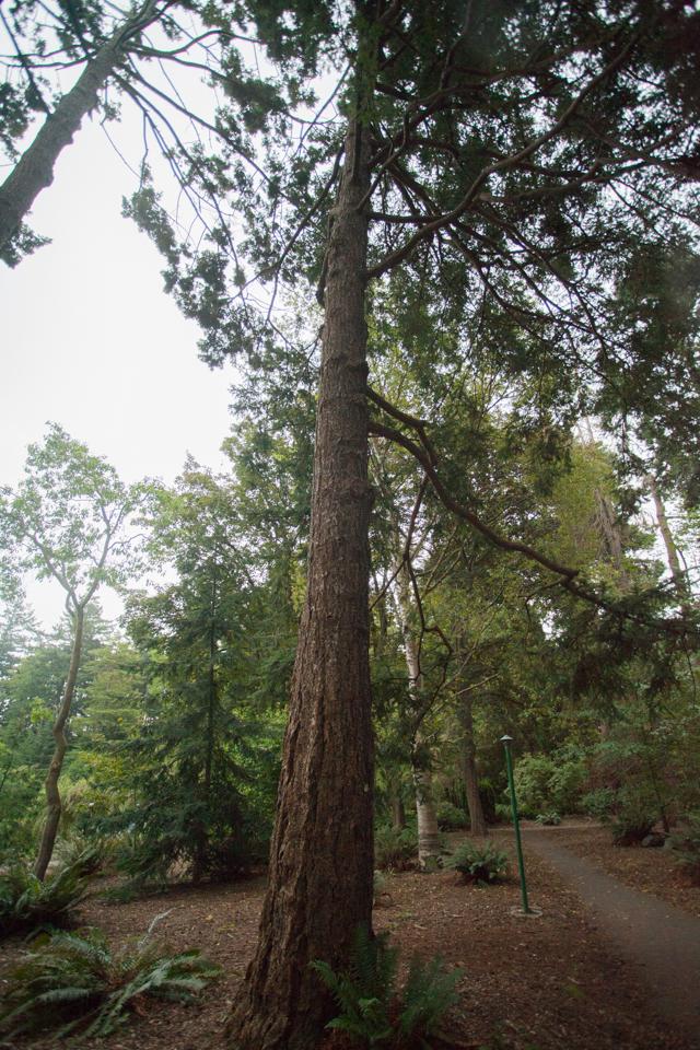 immature redwood tree in Goodacre Park Victoria Canada