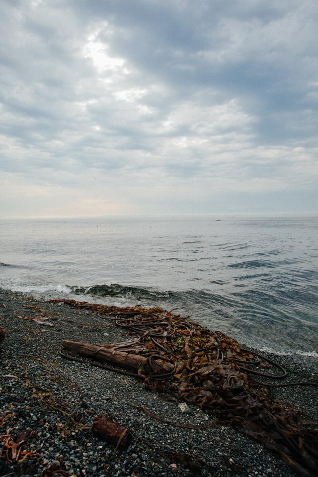 victoria canada northwest coastline with washed up seaweed on shore