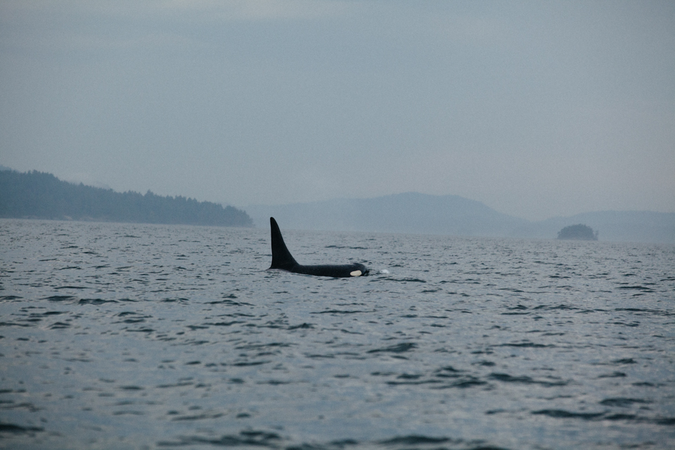 large male southern resident killer whale orca in foggy cloudy British Colombia waters