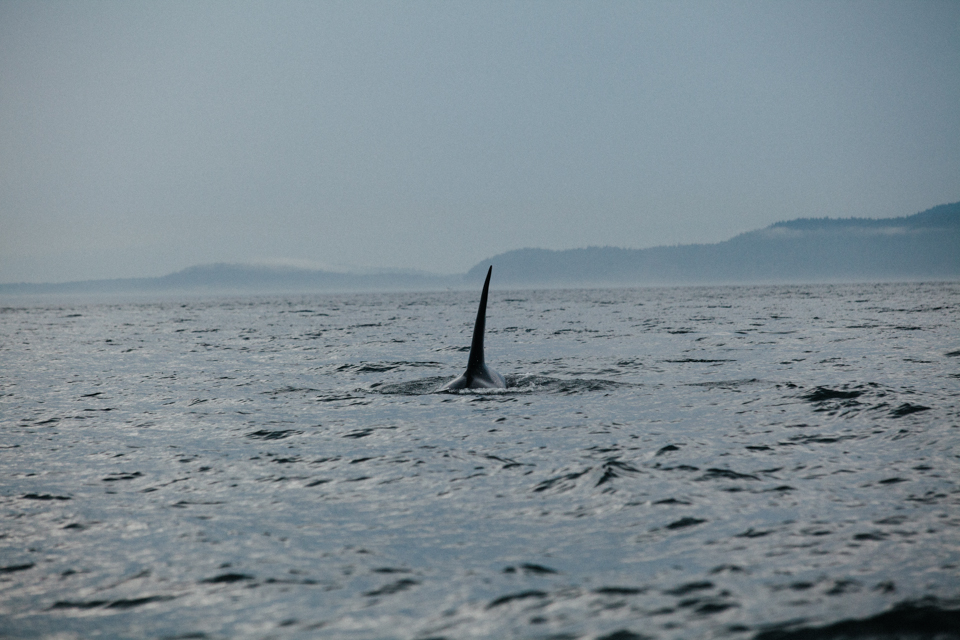 very large male orca coming towards boat