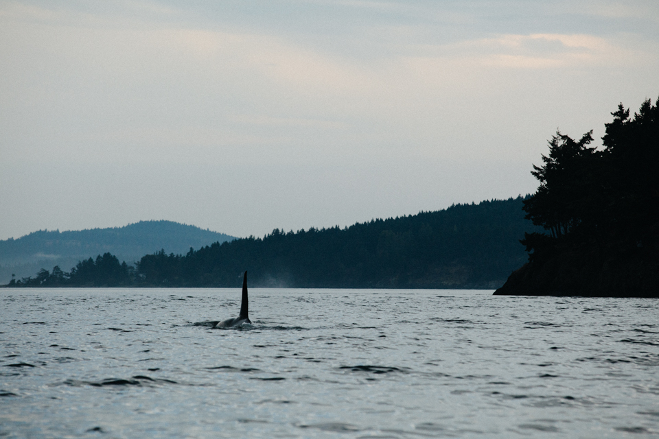large male orca surfacing swimming away in British Columbian waters