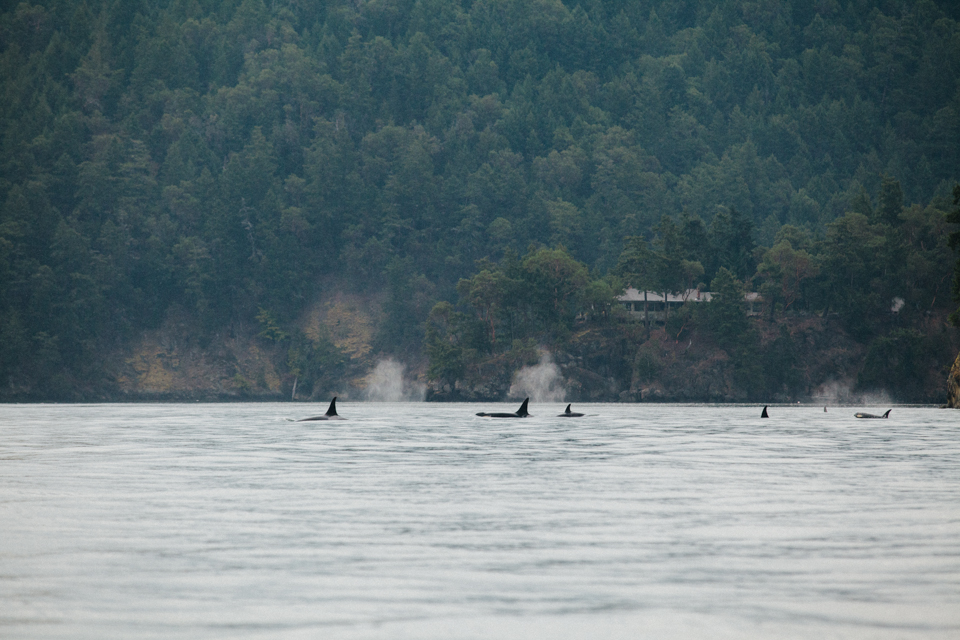 members of j and k orca pods very close to shore in British Columbia