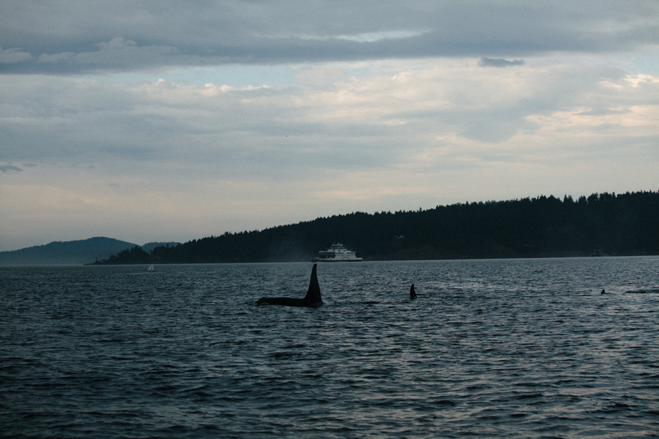 southern resident killer whales in setting sun swimming away