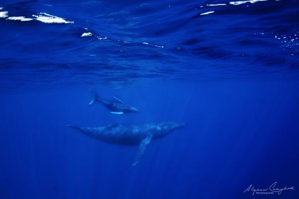 female humpback whale and calf underwater Hawaii