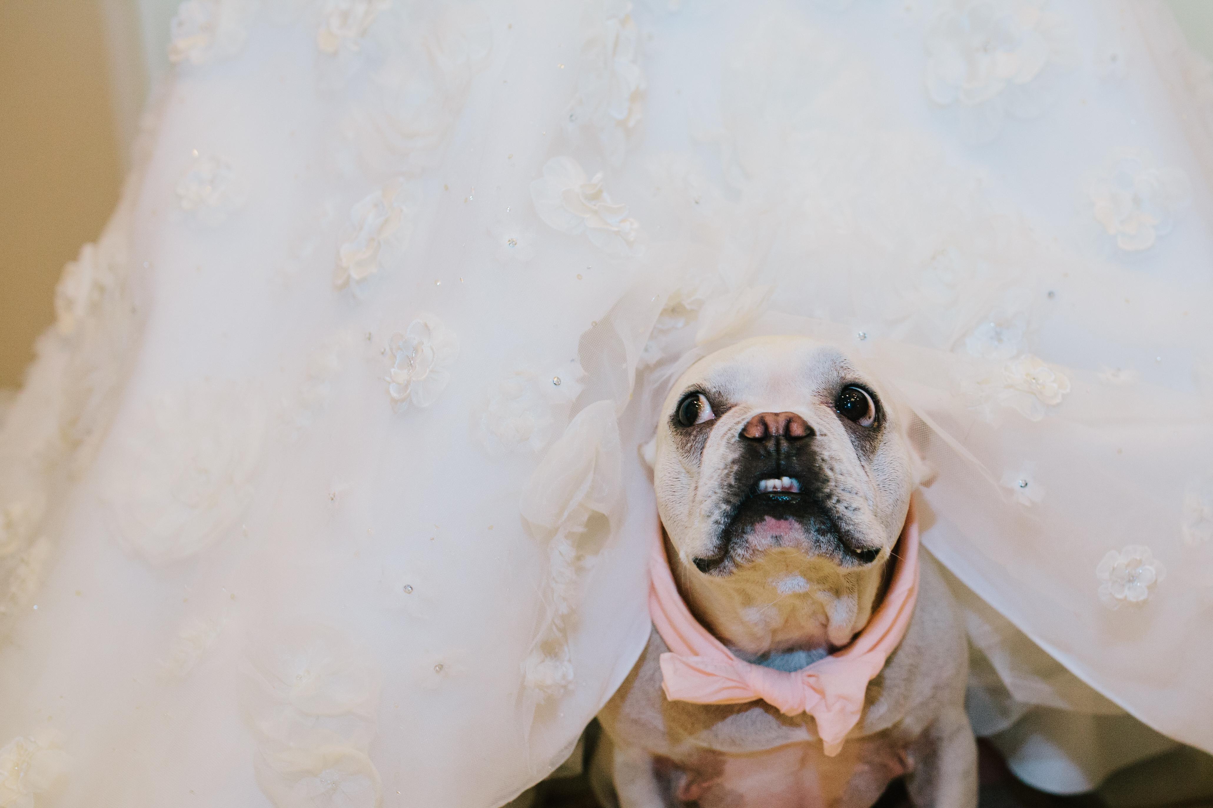 bull dog under wedding dress Phoenix wedding photographer