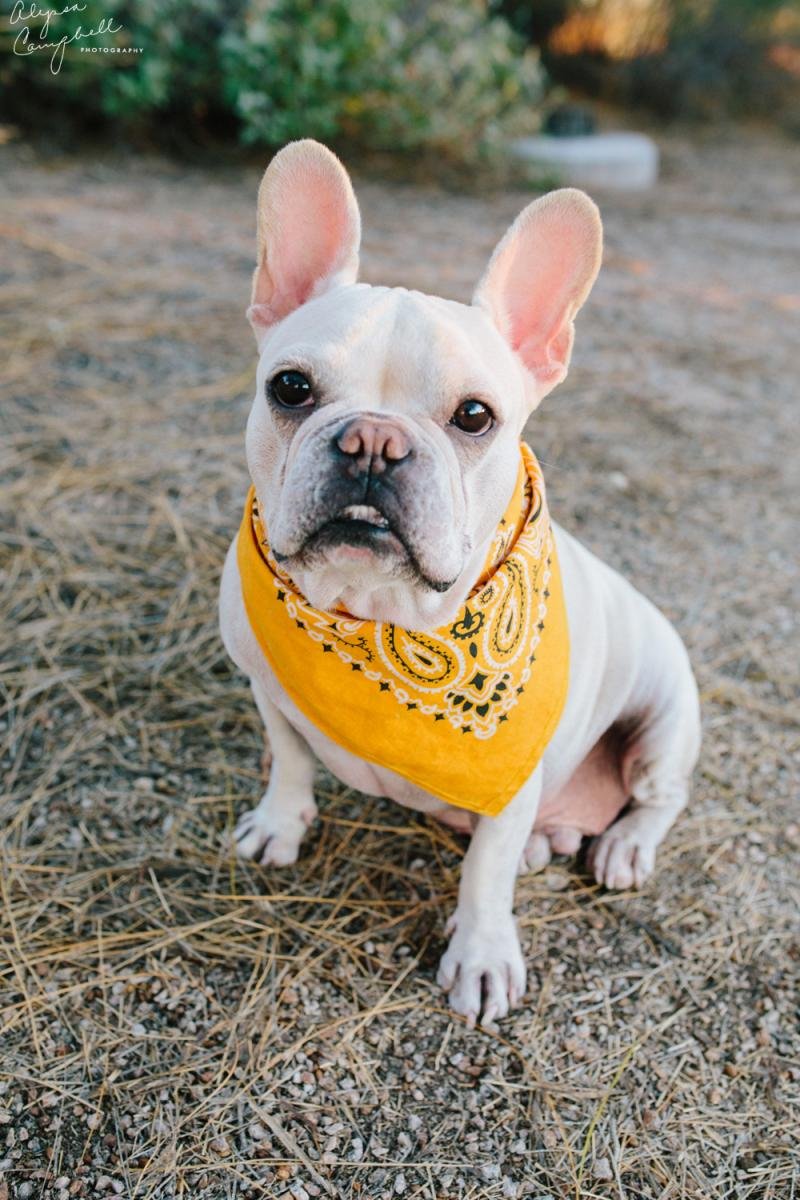 white French bulldog looking at camera with yellow bandana