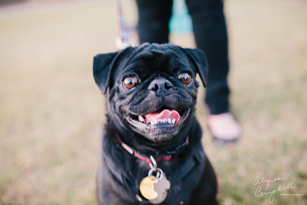 black pug dog looking at camera