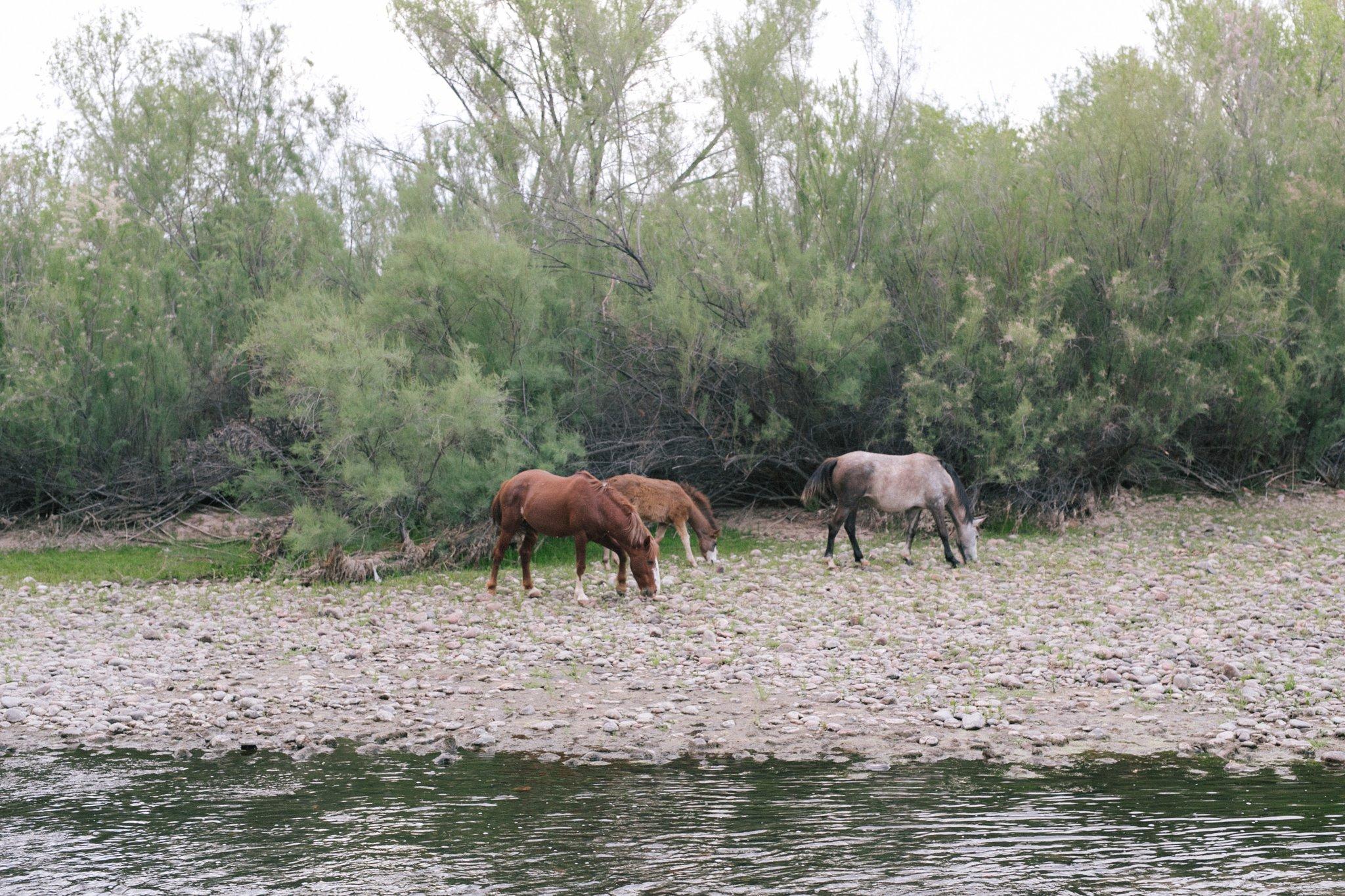 Salt River horses of Arizona