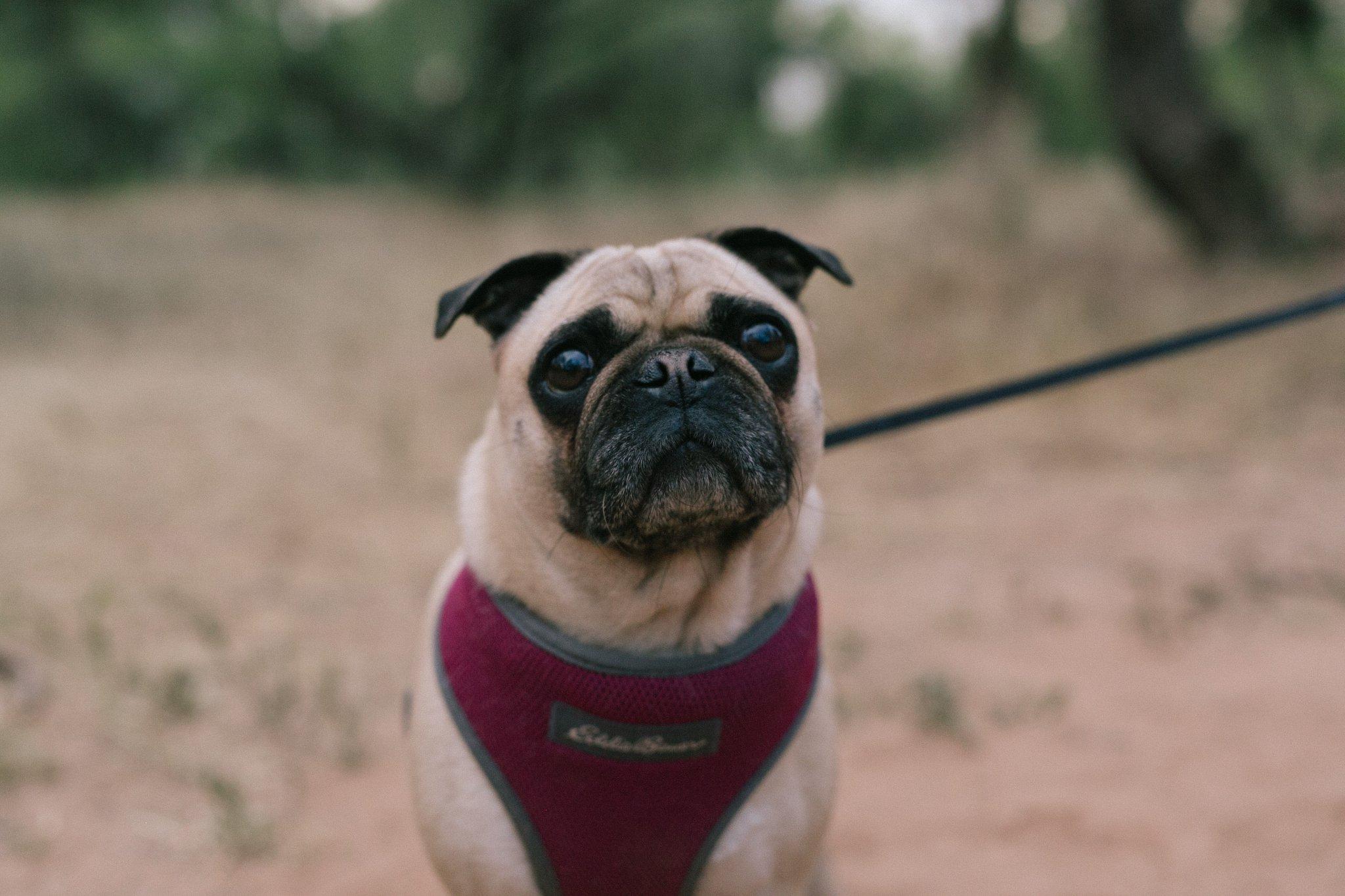 senior portrait session in Arizona with pug
