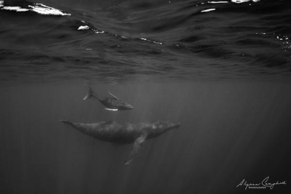 photo of humpback underwater with calf in black & white by Alyssa Campbell Photography