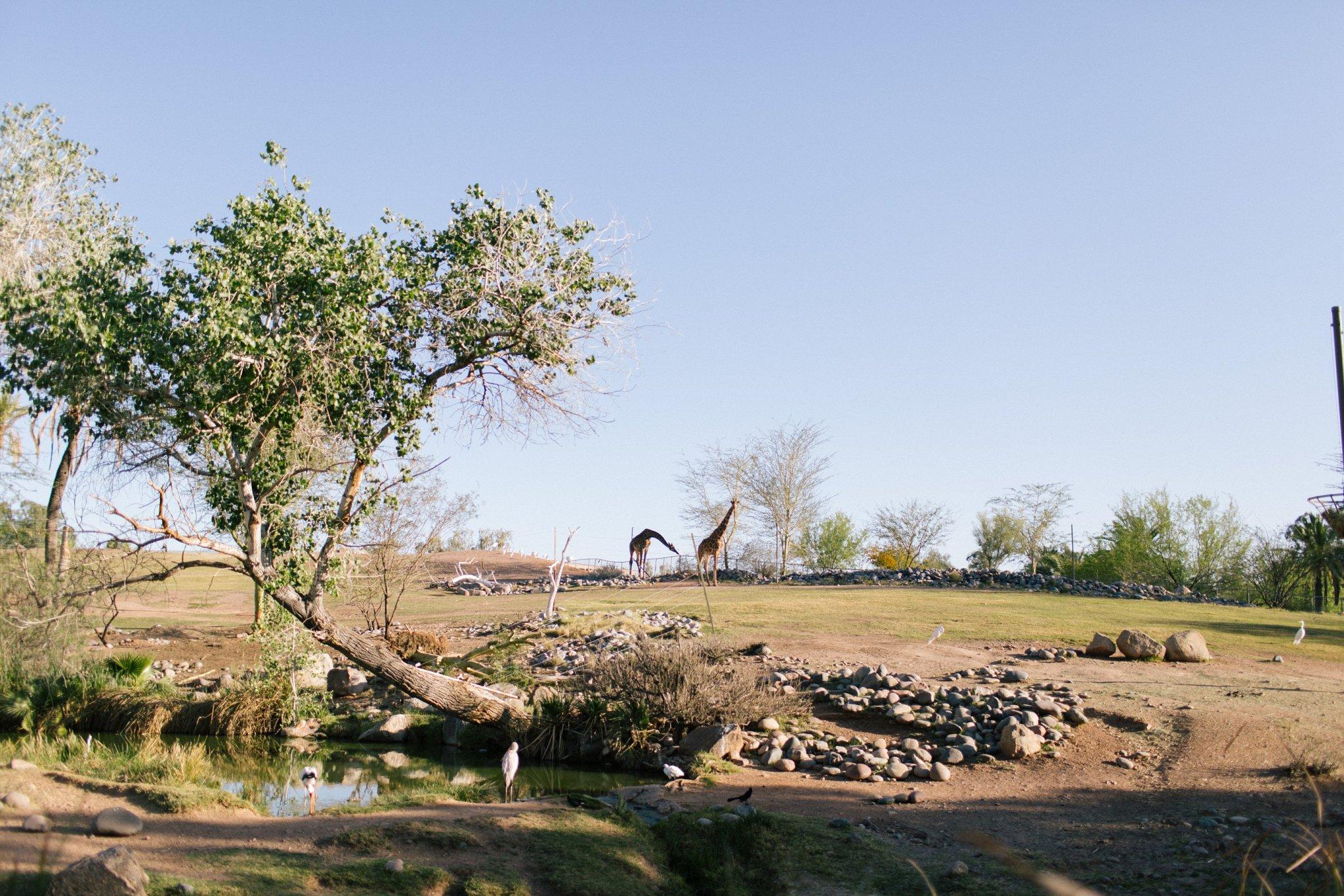 Phoenix Zoo wedding giraffes