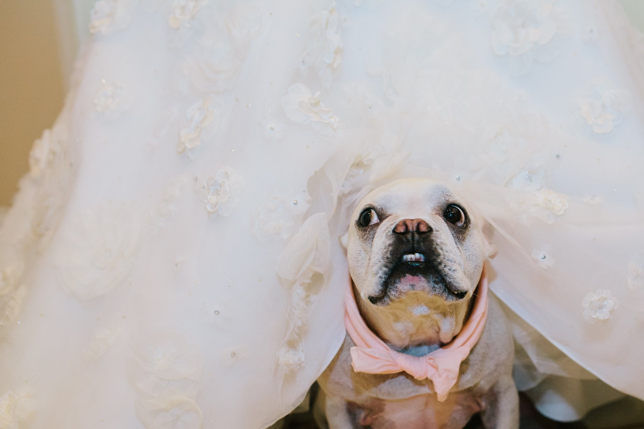 funny bulldog peaking out from under bride's dress