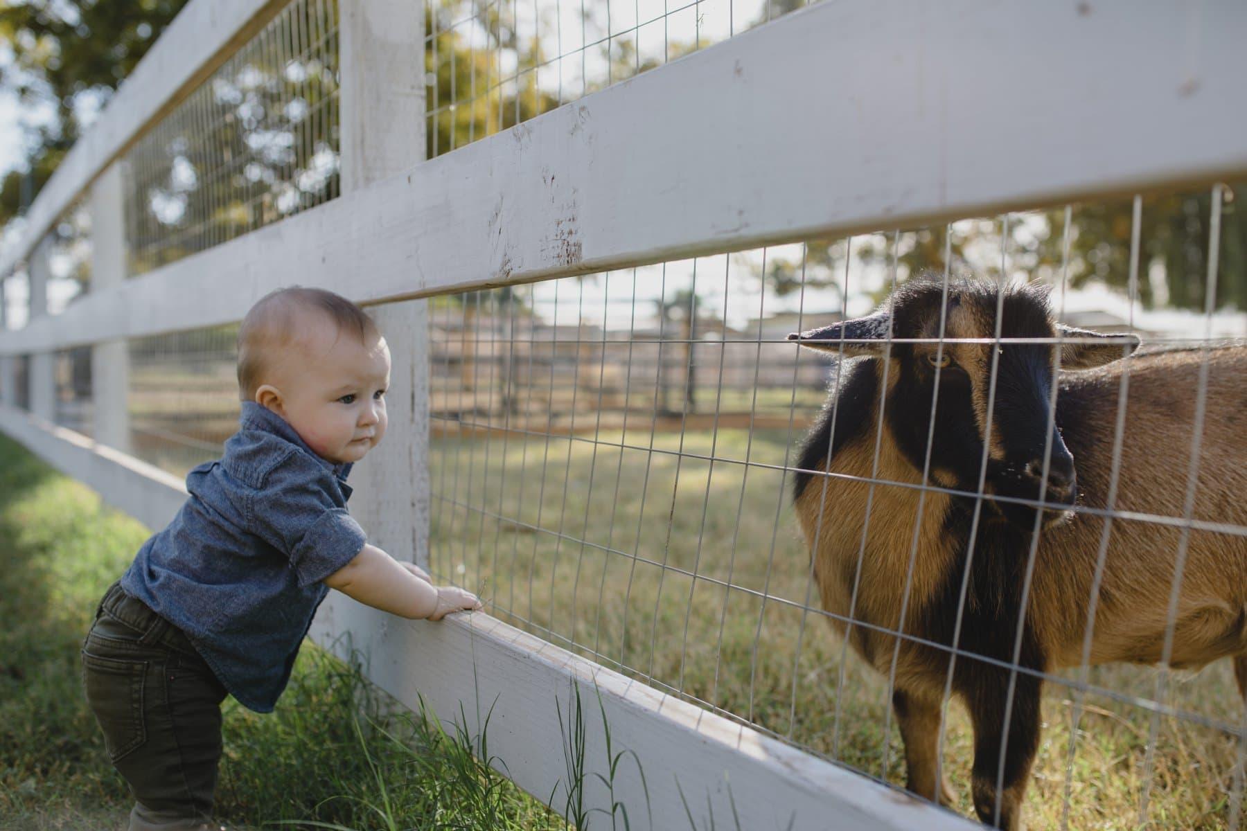 toddler with goat family photos in Gilbert AZ