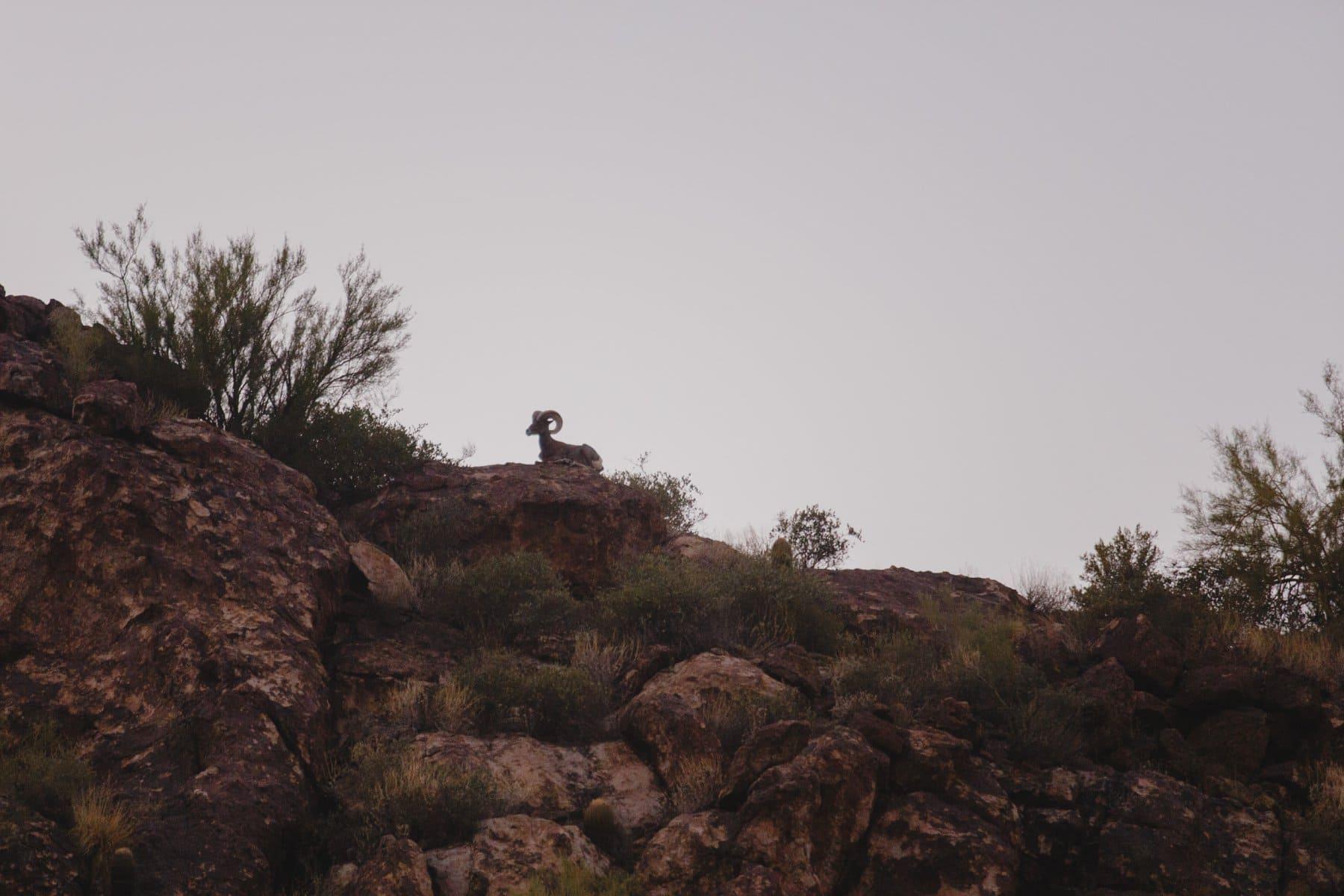 big horn sheep from Desert Belle tour boat Saguaro Lake